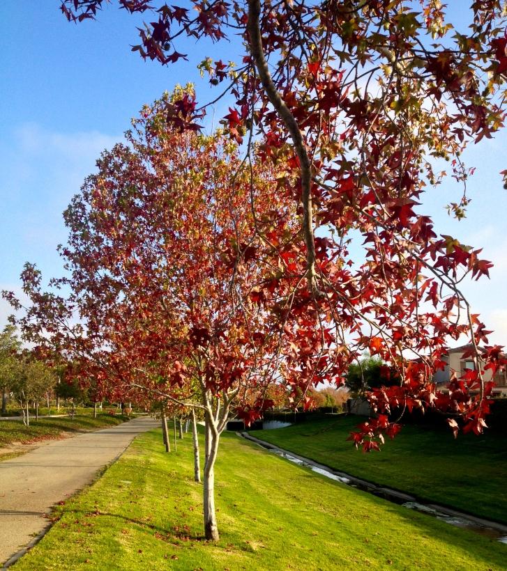 Sycamore trees, Oxnard, CA