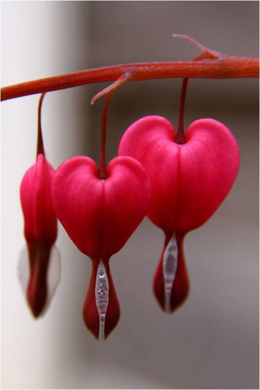"The ""wounded heart"" flower from eastern asia"