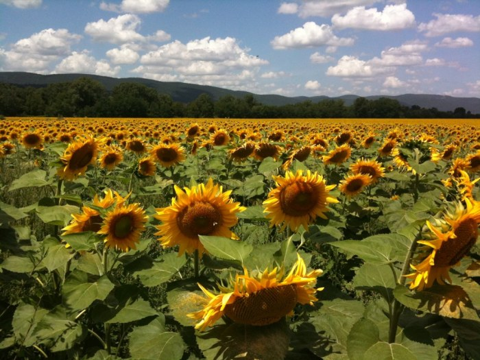 Sunflowers outside Siena, flickr, by Cristos.