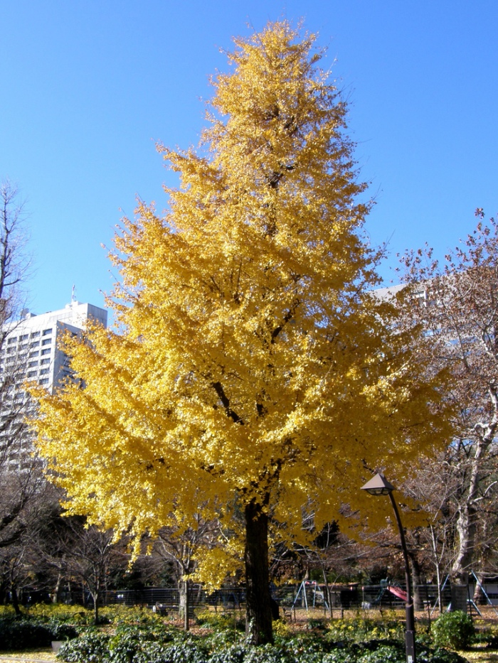 Gingko tree in autumn-flickr
