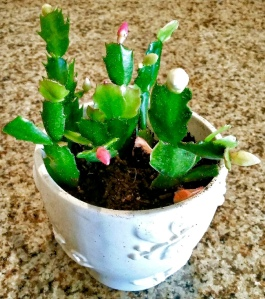 Christmas Cactus alvaradofrazier.com