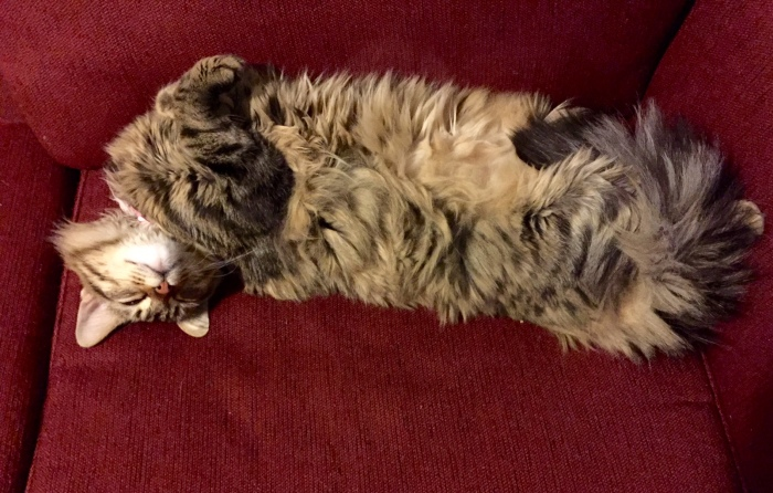 Maine Coon mix cat, sleeping cat