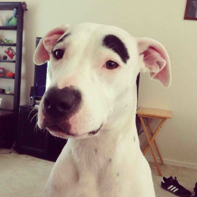 dog with eyebrows, humor, pets