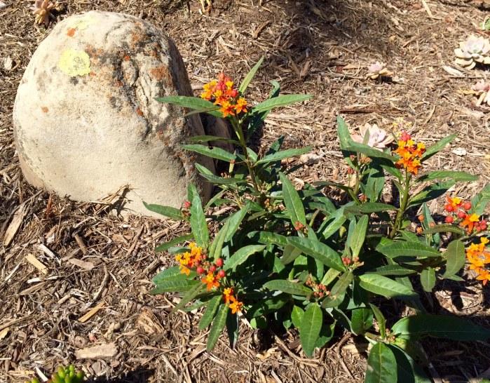 milkweed, lichen covered rock in garden