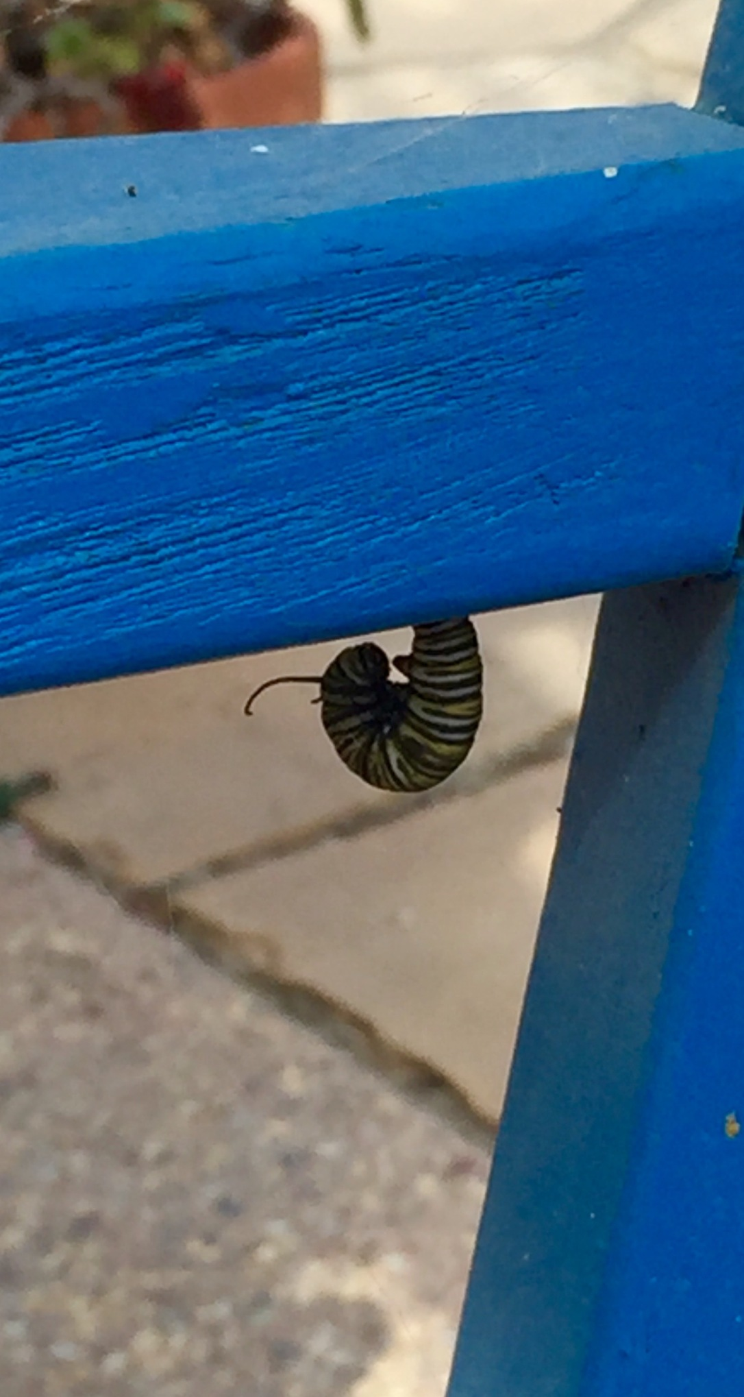 monarch caterpillar on patio chair