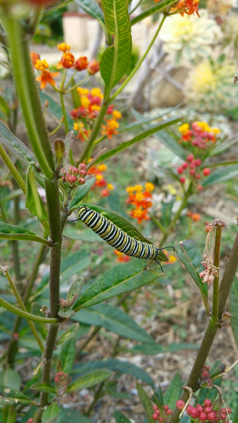 milkweed plant with caterpillar on leaf