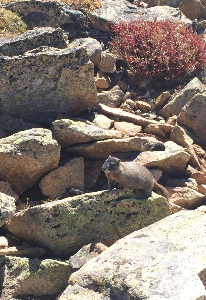 Marmot sunning on rocks