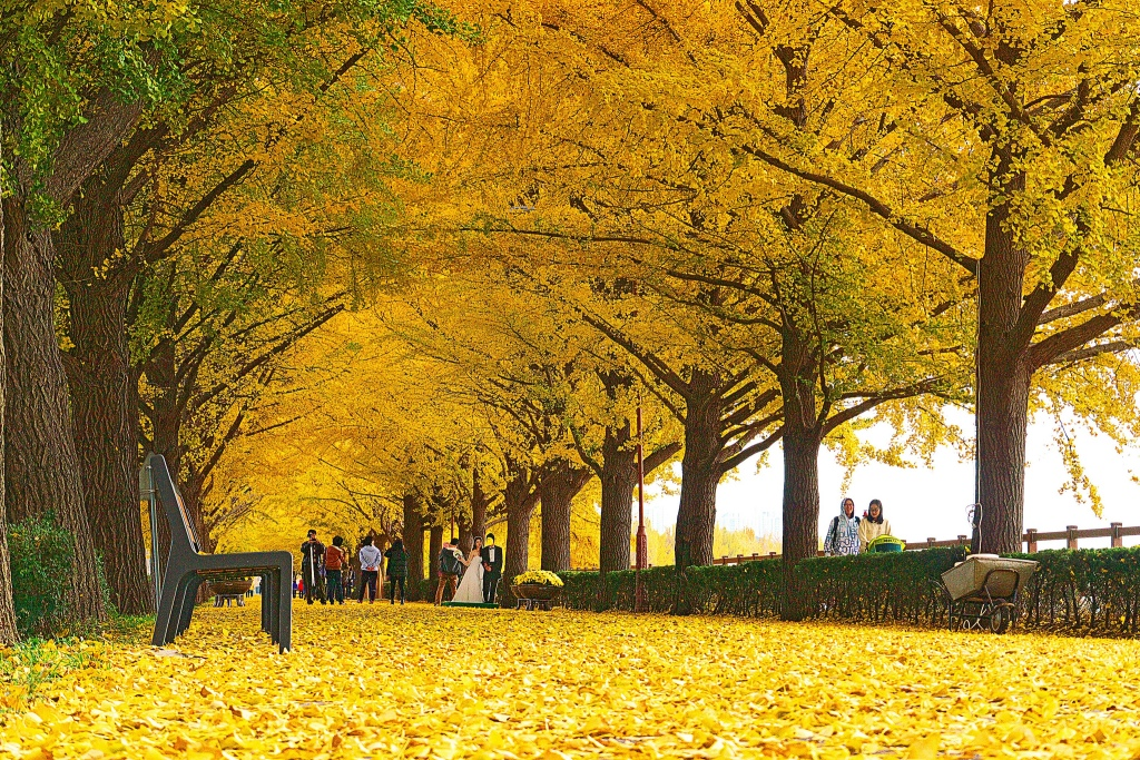 path with several ginkgo yellow trees