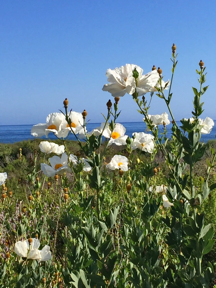 Matilija Poppies, Santa Barbara, CA